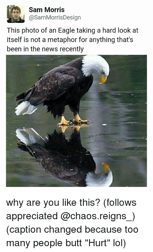 "Butt, Lol, and Memes: @Sam MorrisDesign  This photo of an Eagle taking a hard look at  itself is not a metaphor for anything that's  been in the news recently why are you like this? (follows appreciated @chaos.reigns_) (caption changed because too many people butt ""Hurt"" lol)"