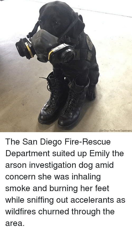 arson: (San Diego Fire-Rescue Department) The San Diego Fire-Rescue Department suited up Emily the arson investigation dog amid concern she was inhaling smoke and burning her feet while sniffing out accelerants as wildfires churned through the area.