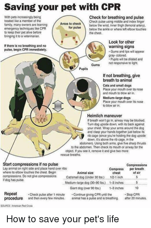 Dilatant: Saving your pet with CPR  With pets increasingly being  Check for breathing and pulse  treated like a member of the  Check pulse using middle and index finger  Areas to check  family, many owners are learning  for below the wrist, inner thigh (femoral artery,  pulse below the ankle or  where left elbow touches  emergency techniques like CPR  to keep their pet alive before  the chest.  bringing it to a  Look for other  If there is no breathing and no  warning signs  pulse, begin CPR immediately.  Gums and lips will appear  gray-colored.  Pupils will be dilated and  Gums not responsive to light.  Pupils  If not breathing, give  breath to animal  Cats and small dogs  Place your mouth over its nose  and mouth to blow air in.  Medium-large dogs  Place your mouth over its nose.  to blow air in  Heimlich maneuver  breath won't go in, airway may be blocked.  Turn dog upside down, with its back against  your chest. Wrap your arms around the dog  and clasp your hands together just below its  rib cage (since you're holding the dog upside  down, it's above the rib cage, in the  abdomen). Using both arms, give five sharp thrusts  to the abdomen. Then check its mouth or airway for the  object, you see it, remove it and give two more  rescue breaths,  Start compressions if no pulse  Compressions  Lay animal on right side and place hand over ribs  Compress  per breath  where its elbow touches the chest. Begin  Animal size  of chest  compressions. Do not give compression  Catsman dog (Under 30 lbs) 1/2.1 inch  dog has pulse.  Medium large dog (30-90 lbs) 1-3inches 5  Giant dog (over 90 lbs) 1-3 inches  10  Repeat  Check pulse after 1 minute  Continue giving CPR until the  Stop CPR  procedure and then every few minutes,  animal has a pulse and is breathing. after 20 minutes,  SOURCE American Red Cross How to save your pet's life