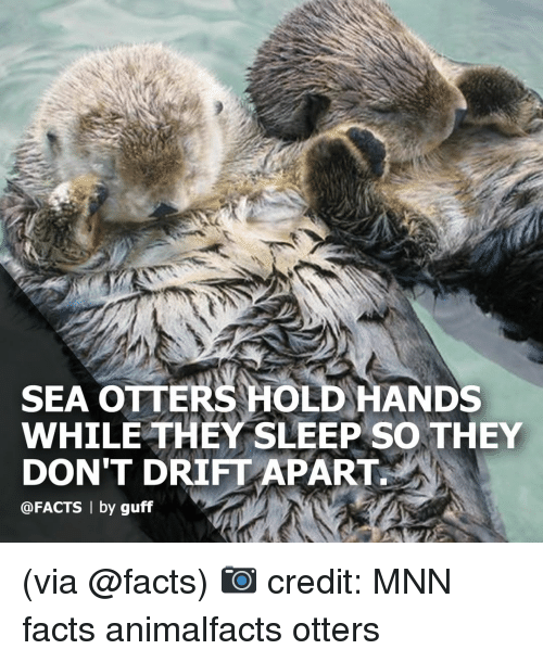 guff: SEA OTTERS HOLD HANDS  WHILE THEY SLEEP SO THEY  DON'T DRIFT APART  @FACTS | by guff (via @facts) 📷 credit: MNN facts animalfacts otters