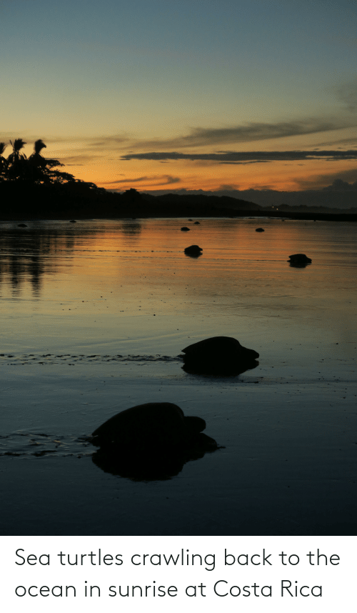 costa: Sea turtles crawling back to the ocean in sunrise at Costa Rica