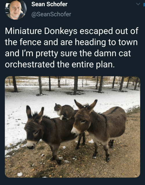 town: Sean Schofer  @SeanSchofer  Miniature Donkeys escaped out of  the fence and are heading to town  and I'm pretty sure the damn cat  orchestrated the entire plan.