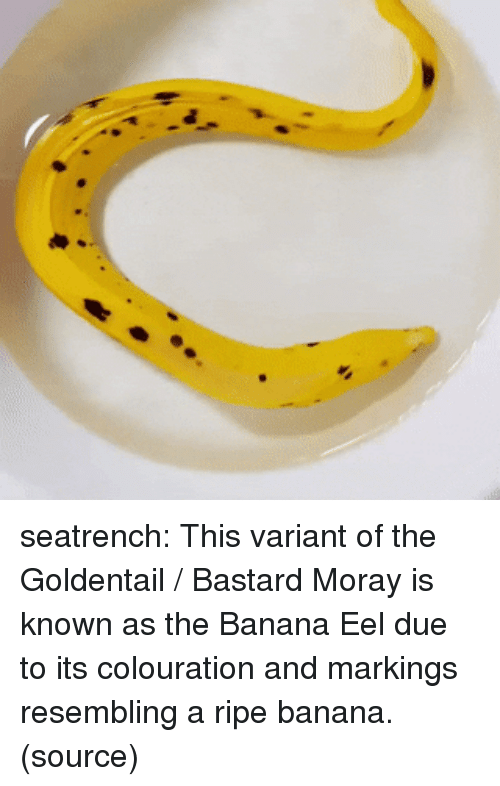 Instagram, Taken, and Target: seatrench:  This variant of the Goldentail / Bastard Moray is known as the Banana Eel due to its colouration and markings resembling a ripe banana.(source)