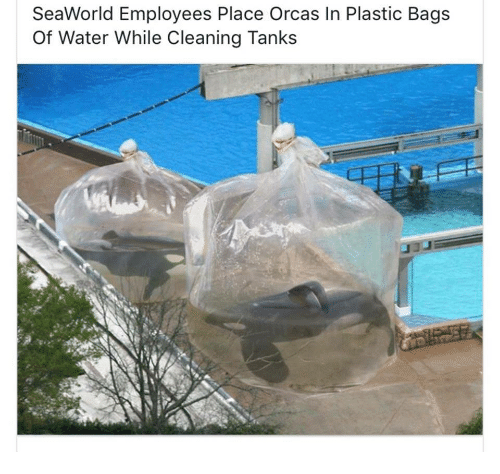 SeaWorld: SeaWorld Employees Place Orcas In Plastic Bags  Of Water While Cleaning Tanks