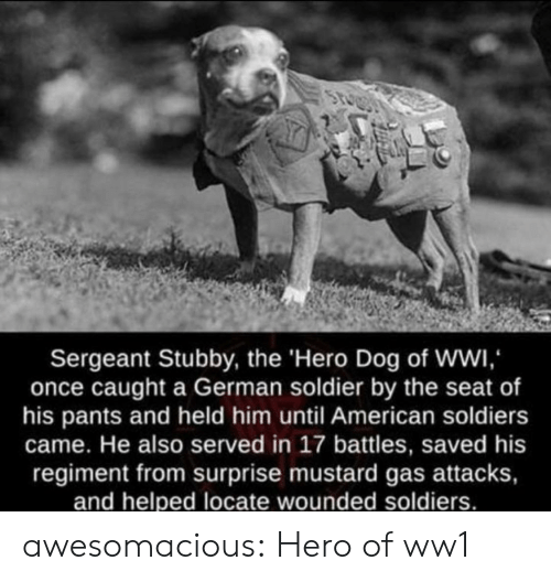 Soldiers, Tumblr, and American: Sergeant Stubby, the 'Hero Dog of WWI,  once caught a German soldier by the seat of  his pants and held him until American soldiers  came. He also served in 17 battles, saved his  regiment from surprise mustard gas attacks,  and helped locate wounded soldiers. awesomacious:  Hero of ww1