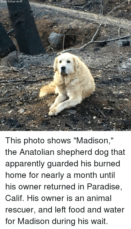 """Apparently, Food, and Memes: Shayla Sullivan via AP This photo shows """"Madison,"""" the Anatolian shepherd dog that apparently guarded his burned home for nearly a month until his owner returned in Paradise, Calif. His owner is an animal rescuer, and left food and water for Madison during his wait."""