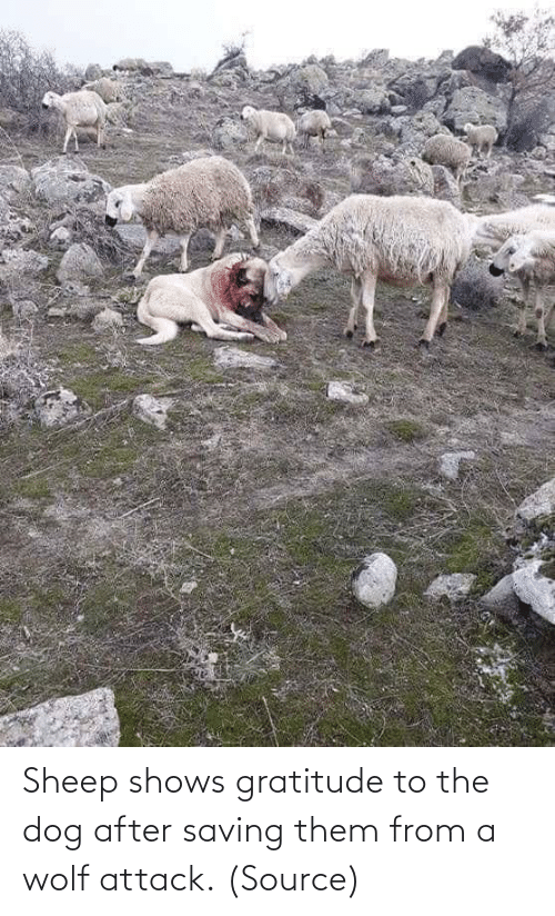 attack: Sheep shows gratitude to the dog after saving them from a wolf attack. (Source)
