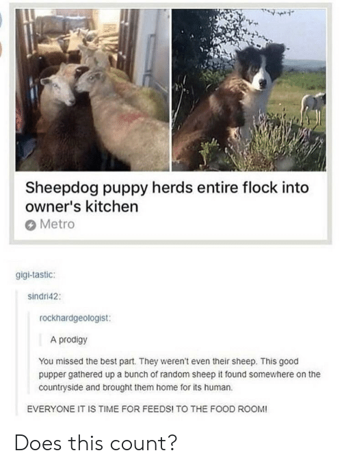 Food, Best, and Good: Sheepdog puppy herds entire flock into  owner's kitchen  Metro  gigi-tastic:  sindri42:  rockhardgeologist:  A prodigy  You missed the best part. They weren't even their sheep. This good  pupper gathered up a bunch of random sheep it found somewhere on the  countryside and brought them home for its human  EVERYONE IT IS TIME FOR FEEDS! TO THE FOOD ROOM! Does this count?