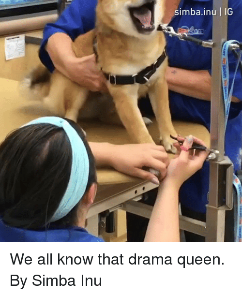 Dank, Queen, and 🤖: simba.inu IG We all know that drama queen.  By Simba Inu