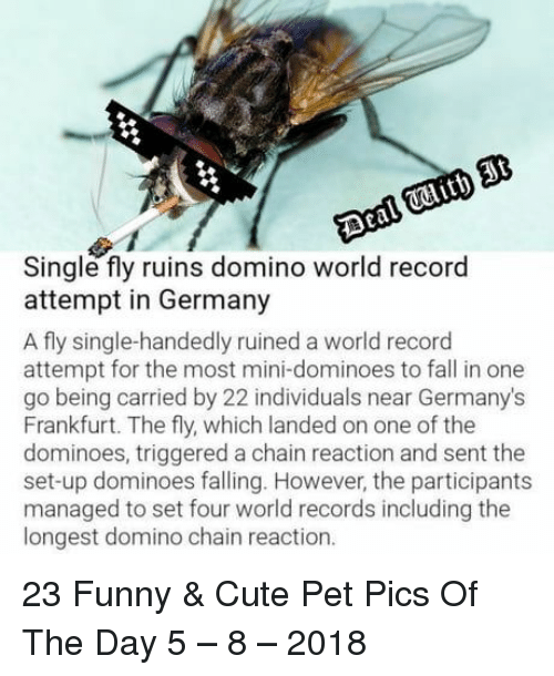 chain reaction: Single fly ruins domino world record  attempt in Germany  A fly single-handedly ruined a world record  attempt for the most mini-dominoes to fall in one  go being carried by 22 individuals near Germany's  Frankfurt. The fly, which landed on one of the  dominoes, triggered a chain reaction and sent the  set-up dominoes falling. However, the participants  managed to set four world records including the  longest domino chain reaction. 23 Funny & Cute Pet Pics Of The Day 5 – 8 – 2018