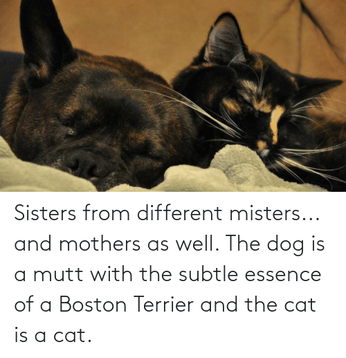 Essence: Sisters from different misters... and mothers as well. The dog is a mutt with the subtle essence of a Boston Terrier and the cat is a cat.