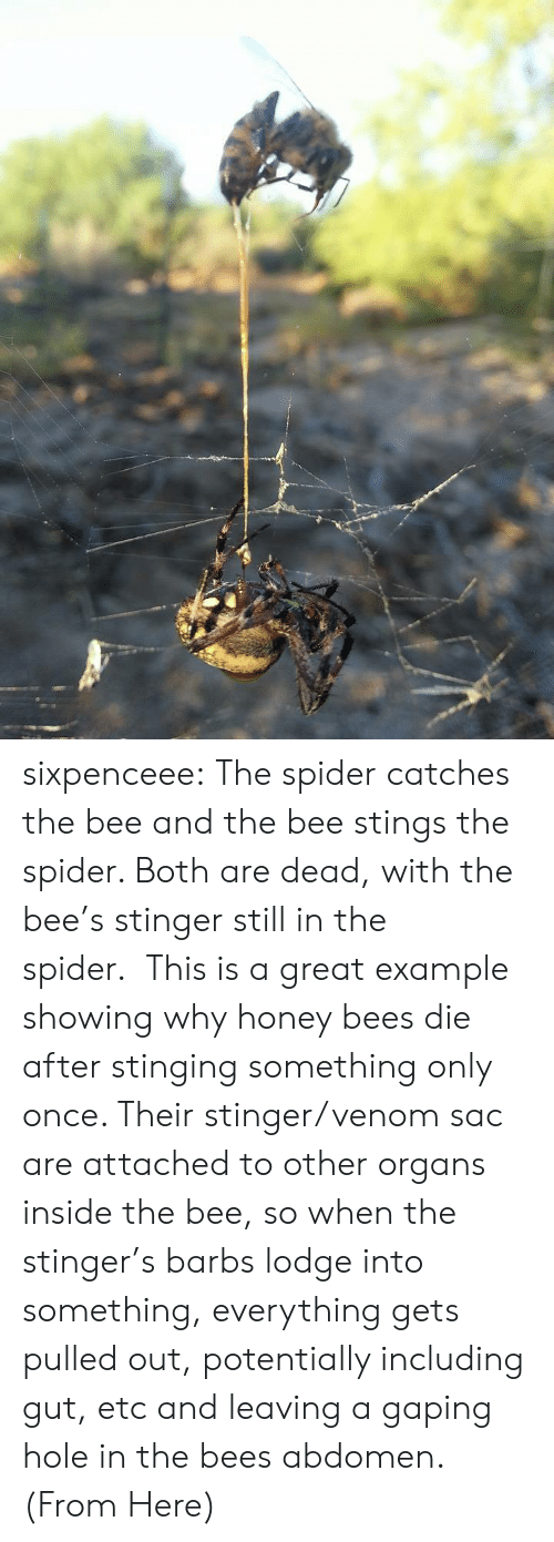 abdomen: sixpenceee:  The spider catches the bee and the bee stings the spider. Both are dead, with the bee's stinger still in the spider.This is a great example showing why honey bees die after stinging something only once. Their stinger/venom sac are attached to other organs inside the bee, so when the stinger's barbs lodge into something, everything gets pulled out, potentially including gut, etc and leaving a gaping hole in the bees abdomen. (From Here)