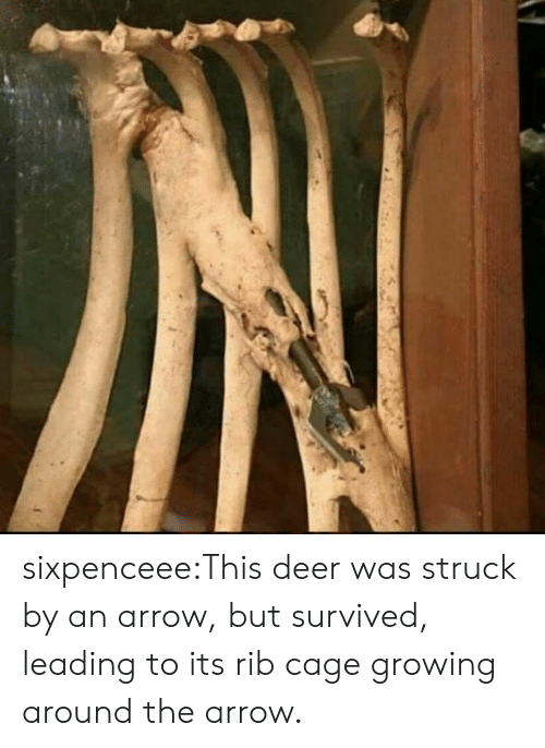 Deer, Tumblr, and Arrow: sixpenceee:This deer was struck by an arrow, but survived, leading to its rib cage growing around the arrow.