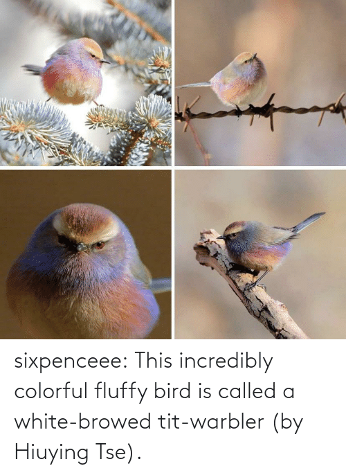 A: sixpenceee:  This incredibly colorful fluffy bird is called a white-browed tit-warbler (by Hiuying Tse).