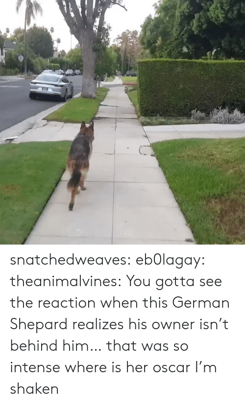 german shepard: snatchedweaves: eb0lagay:  theanimalvines: You gotta see the reaction when this German Shepard realizes his owner isn't behind him… that was so intense  where is her oscar I'm shaken