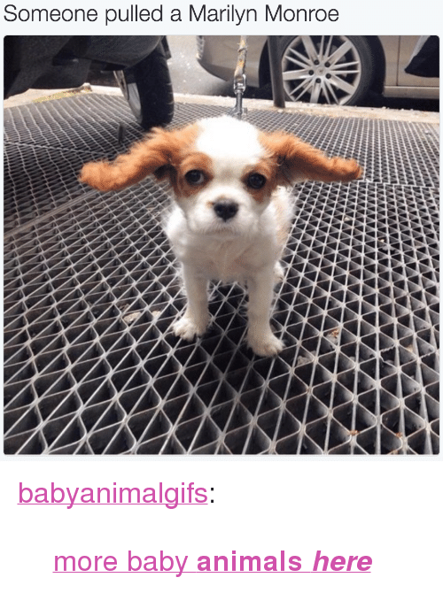 "Baby Animals: Some  one pulled a Marilyn Monroe <p><a href=""http://babyanimalgifs.tumblr.com/post/148866482952/more-baby-animals-here"" class=""tumblr_blog"">babyanimalgifs</a>:</p>  <blockquote><p><a href=""http://babyanimalgifs.tumblr.com/"">more baby <b>animals <i>here</i></b></a></p></blockquote>"