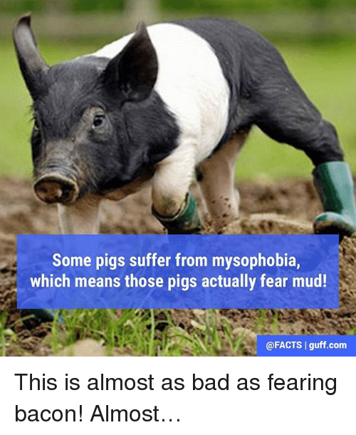 guff: Some pigs suffer from mysophobia,  which means those pigs actually fear mud!  @FACTS I guff.com This is almost as bad as fearing bacon! Almost…