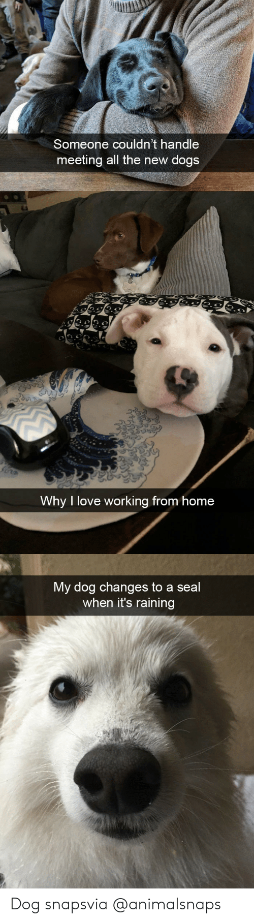 Dogs, Love, and Target: Someone couldn't handle  meeting all the new dogs   Why I love working from home   My dog changes to a seal  when it's raining Dog snapsvia @animalsnaps