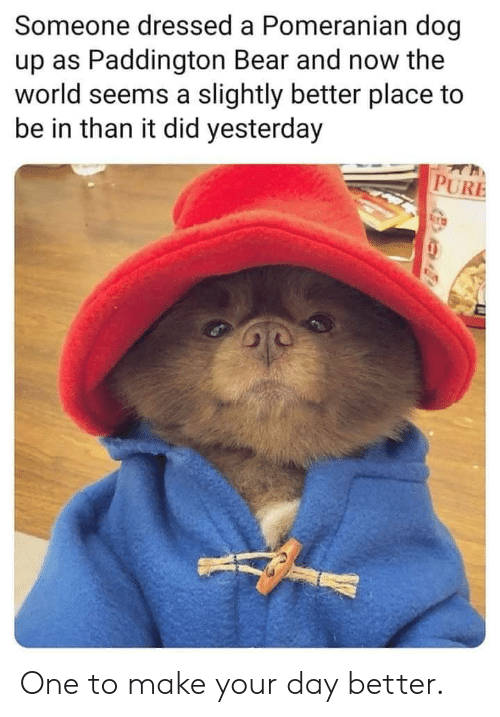 Bear, Pomeranian, and World: Someone dressed a Pomeranian dog  up as Paddington Bear and now the  world seems a slightly better place to  be in than it did yesterday  PURE One to make your day better.