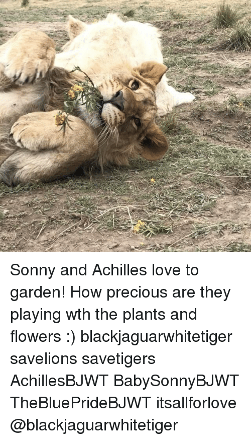 Love, Memes, and Precious: Sonny and Achilles love to garden! How precious are they playing wth the plants and flowers :) blackjaguarwhitetiger savelions savetigers AchillesBJWT BabySonnyBJWT TheBluePrideBJWT itsallforlove @blackjaguarwhitetiger