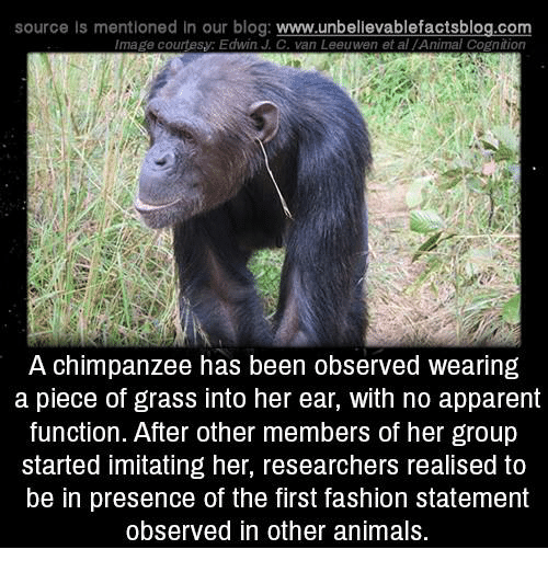 Apparently, Fashion, and Memes: source Is mentioned In our blog  www.unbelievablefactsblog.com  Image courtesy: Edwin J C. van Leeuwen et al Animal Cognition  A chimpanzee has been observed wearing  a piece of grass into her ear, with no apparent  function. After other members of her group  started imitating her, researchers realised to  be in presence of the first fashion statement  observed in other animals.