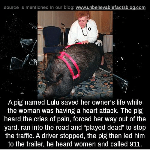 "the yards: source Is mentioned in our blog: www.unbellevablefactsblog.com  A pig named Lulu saved her owner's life while  the woman was having a heart attack. The pig  heard the cries of pain, forced her way out of the  yard, ran into the road and ""played dead"" to stop  the traffic. A driver stopped, the pig then led him  to the trailer, he heard women and called 911"