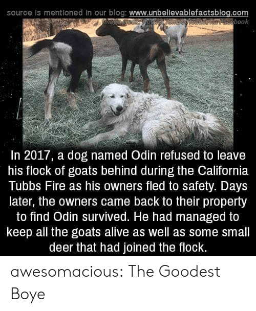 Odin: source is mentioned in our blog: www.unbellevablefactsblog.com  aveebook  In 2017, a dog named Odin refused to leave  his flock of goats behind during the California  Tubbs Fire as his owners fled to safety. Days  later, the owners came back to their property  to find Odin survived. He had managed to  keep all the goats alive as well as some small  deer that had joined the flock. awesomacious:  The Goodest Boye