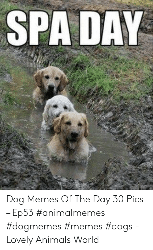Animals, Dogs, and Memes: SPA DAY Dog Memes Of The Day 30 Pics – Ep53 #animalmemes #dogmemes #memes #dogs - Lovely Animals World