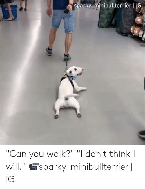 """Dank, 🤖, and Can: sparky minibullterrier 