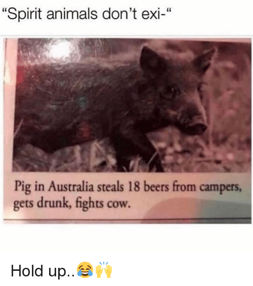 """Animals, Drunk, and Australia: """"Spirit animals don't exi-""""  Pig in Australia steals 18 beers from campers  gets drunk, fights cow. Hold up..😂🙌"""