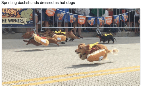 wieners: Sprinting dachshunds dressed as hot dog:s  USA  HE WIENERS  arity