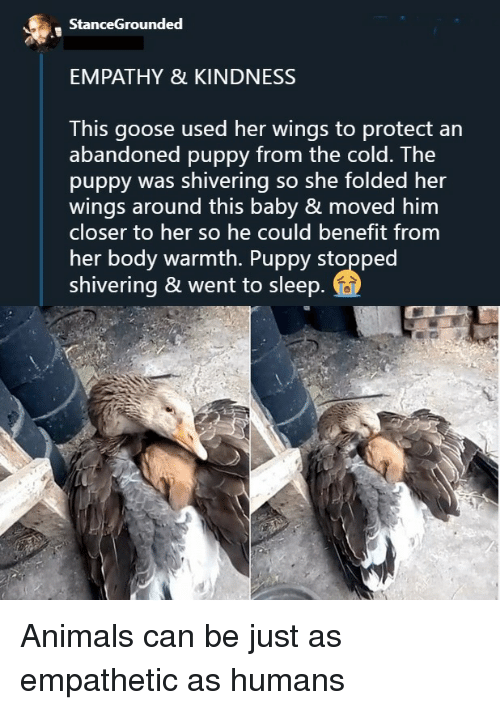 Empathy: StanceGrounded  EMPATHY & KINDNESS  This goose used her wings to protect an  abandoned puppy from the cold. The  puppy was shivering so she folded her  wings around this baby & moved him  closer to her so he could benefit from  her body warmth. Puppy stopped  shivering & went to sleep Animals can be just as empathetic as humans