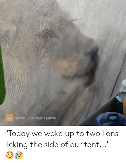 """Lions, Today, and Via: Storyful via Francie Lubbe  story """"Today we woke up to two lions licking the side of our tent..."""" 😳😰"""