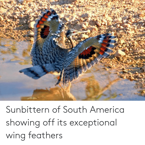 exceptional: Sunbittern of South America showing off its exceptional wing feathers