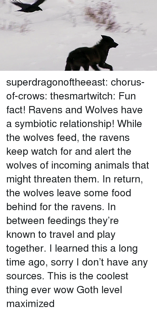 Animals, Food, and Sorry: superdragonoftheeast: chorus-of-crows:  thesmartwitch:  Fun fact! Ravens and Wolves have a symbiotic relationship! While the wolves feed, the ravens keep watch for and alert the wolves of incoming animals that might threaten them. In return, the wolves leave some food behind for the ravens. In between feedings they're known to travel and play together. I learned this a long time ago, sorry I don't have any sources.  This is the coolest thing ever wow   Goth level maximized