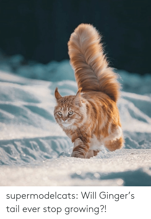 tail: supermodelcats:  Will Ginger's tail ever stop growing?!