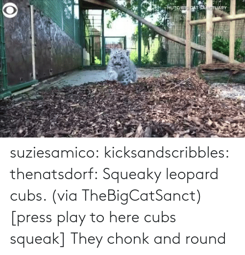 press: suziesamico:  kicksandscribbles:  thenatsdorf: Squeaky leopard cubs. (via TheBigCatSanct) [press play to here cubs squeak]    They chonk and round