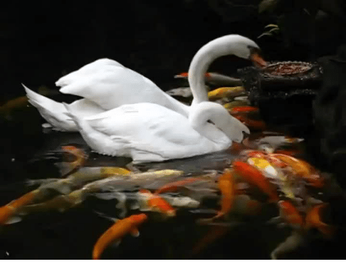 Fish, Swans, and Koi: Swans feeding Koi Fish