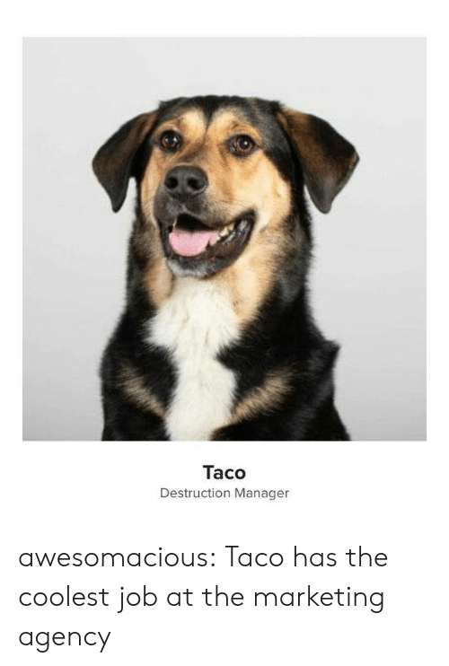 marketing: Taco  Destruction Manager awesomacious:  Taco has the coolest job at the marketing agency