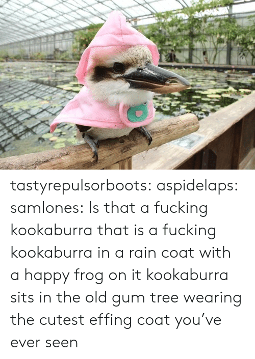 Sits: tastyrepulsorboots: aspidelaps:  samlones:  Is that a fucking kookaburra  that is a fucking kookaburra in a rain coat with a happy frog on it  kookaburra sits in the old gum tree wearing the cutest effing coat you've ever seen
