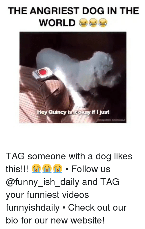 Angriest: THE ANGRIEST DOG IN THE  WORLD  ey Quincy  is okay if just TAG someone with a dog likes this!!! 😭😭😭 • Follow us @funny_ish_daily and TAG your funniest videos funnyishdaily • Check out our bio for our new website!