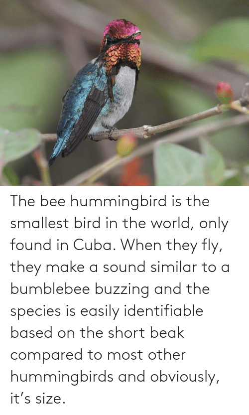 Cuba: The bee hummingbird is the smallest bird in the world, only found in Cuba. When they fly, they make a sound similar to a bumblebee buzzing and the species is easily identifiable based on the short beak compared to most other hummingbirds and obviously, it's size.