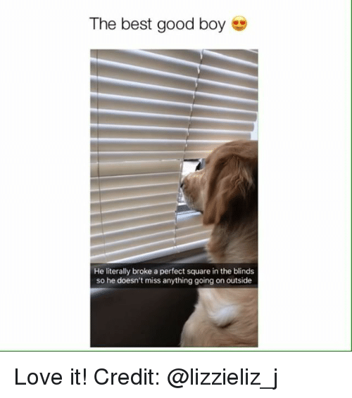 blinds: The best good boy e  He literally broke a perfect square in the blinds  so he doesn't miss anything going on outside Love it! Credit: @lizzieliz_j