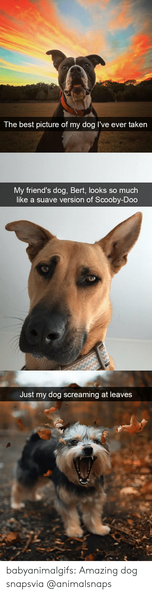 Friends, Scooby Doo, and Taken: The best  picture of my dog I've ever taken   My friend's dog, Bert, looks so much  like a suave version of Scooby-Doo   Just my dog screaming at leaves babyanimalgifs:  Amazing dog snapsvia @animalsnaps​