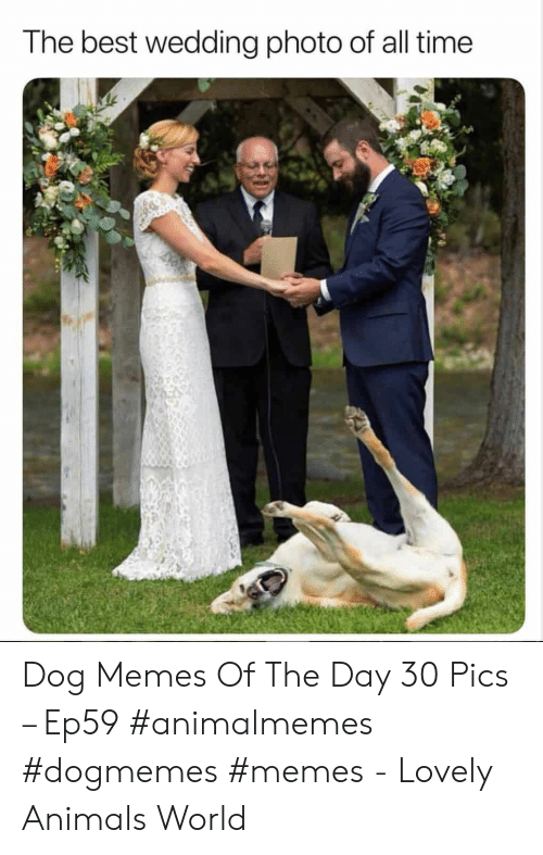 Animals, Memes, and Best: The best wedding photo of all time Dog Memes Of The Day 30 Pics – Ep59 #animalmemes #dogmemes #memes - Lovely Animals World