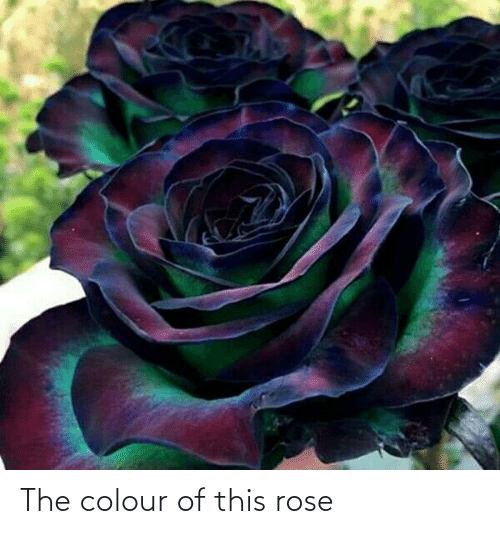 Colour: The colour of this rose