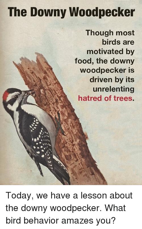 Downy, Memes, and Hatred: The Downy Woodpecker  Though most  birds are  motivated by  food, the downy  woodpecker is  driven by its  unrelenting  hatred of trees. Today, we have a lesson about the downy woodpecker.  What bird behavior amazes you?