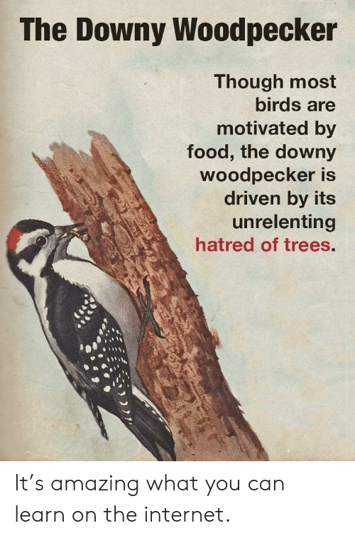 Downy, Food, and Internet: The Downy Woodpecker  Though most  birds are  motivated by  food, the downy  Woodpecker is  driven by its  unrelenting  hatred of trees. It's amazing what you can learn on the internet.