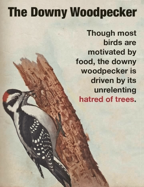 Downy, Food, and Birds: The Downy Woodpecker  Though most  birds are  motivated by  food, the downy  woodpecker is  driven by its  unrelenting  hatred of trees.