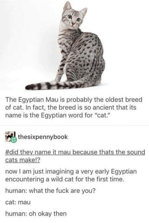 """imagining: The Egyptian Mau is probably the oldest breed  of cat. In fact, the breed is so ancient that its  name is the Egyptian word for """"cat.""""  thesixpennybook  #did they name it mau because thats the sound  12  cats make!?  now I am just imagining a very early Egyptian  encountering a wild cat for the first time.  human: what the fuck are you?  cat: mau  human: oh okay then"""